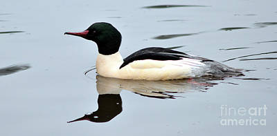 Photograph - Common Merganser On Lost Lagoon by Terry Elniski
