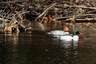 Photograph - Common Mergansers by Betty Pauwels