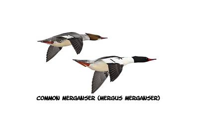 Common Merganser Wall Art - Photograph - Common Mergansers  Isolated 2014-1 by Thomas Young