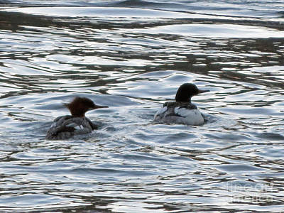 Photograph - Common Merganzer Pair by Cindy Murphy - NightVisions