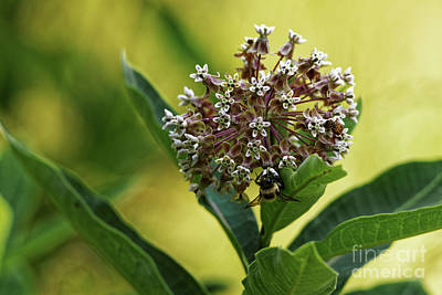 Photograph - Common Milkweed by Paul Mashburn