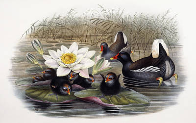 Moorhen Painting - Common Moorhen by John Gould