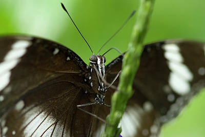 Photograph - Common Mormon Butterfly by JT Lewis