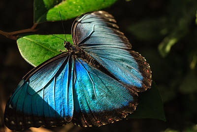 Photograph - Common Morpho Blue Butterfly by Joni Eskridge