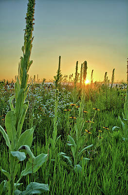 Photograph - Common Mullein by Bonfire Photography
