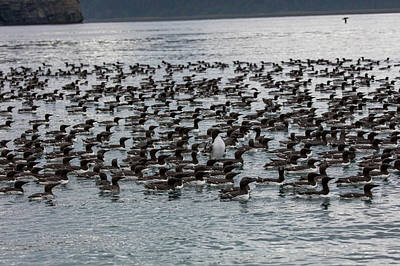 Photograph - Common Murre On The Bay by Gloria Anderson