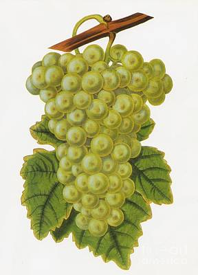 Coloured Engraving Painting - Common Muscadine by Celestial Images