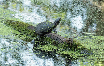 Photograph - Common Musk Turtle by Bill Jordan