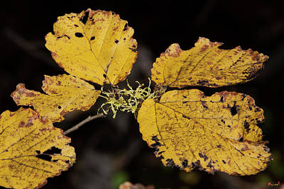 Photograph - Common Or American Witch-hazel Dff0063 by Gerry Gantt