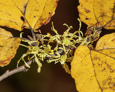 Photograph - Common Or American Witch-hazel Dff0064 by Gerry Gantt