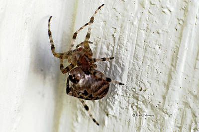 Photograph - Common Orb Weaver Spider by Kae Cheatham