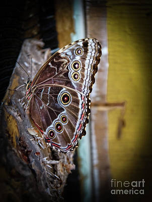 Photograph - Common Owl Butterfly by Robert Bales