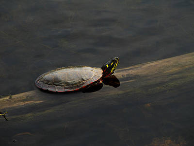 Photograph - Common Painted Turtle by Scott Hovind