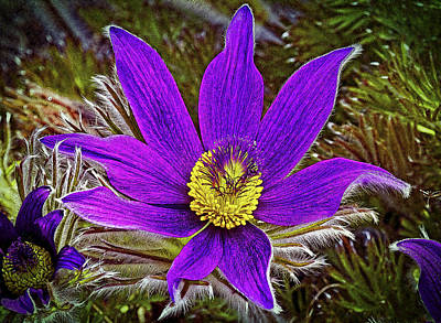 Pasque Flower Digital Art - Common Pasque Flower by Urs Schweitzer