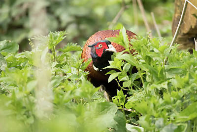 Photograph -  Common Pheasant - Phasianus Colchicus by Darren Wilkes