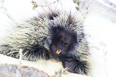 Common Porcupine Art Print