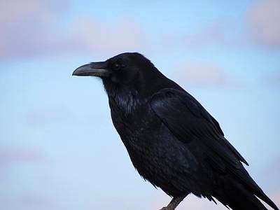 Common Raven Art Print by Connor Beekman