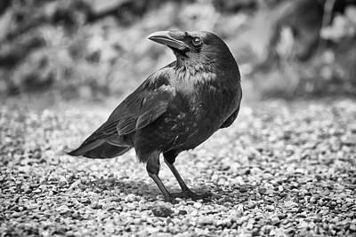 Photograph - Common Raven, Corvus Corax by Elenarts - Elena Duvernay photo