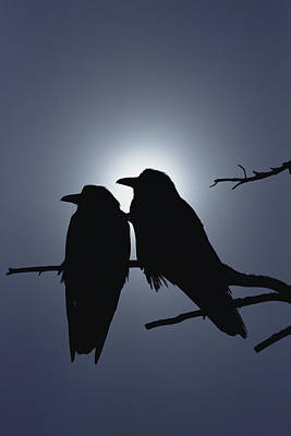 Two Crows Photograph - Common Raven Pair Perching by Michael Quinton