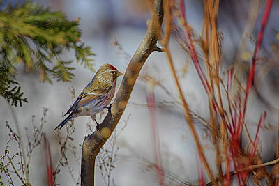 Photograph - Common Redpoll 2 by Gary Hall