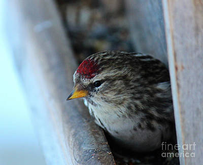Photograph - Common Redpoll by Ann E Robson