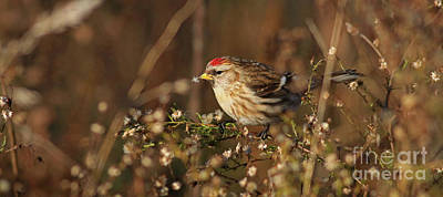 Photograph - Common Redpoll by Debbie Parker