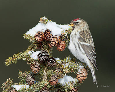 Photograph - Common Redpoll by Gerry Sibell