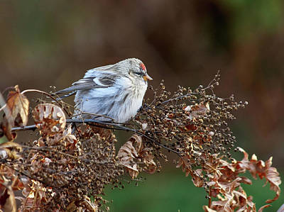 Photograph - Common Redpoll by Jouko Lehto