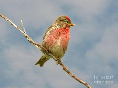 Photograph - Common Redpoll Perched by Myrna Bradshaw