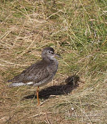 Photograph - Common Redshank - 0785,s by Wally Hampton