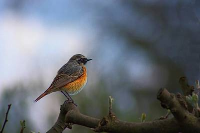Photograph - Common Redstart by Movie Poster Prints