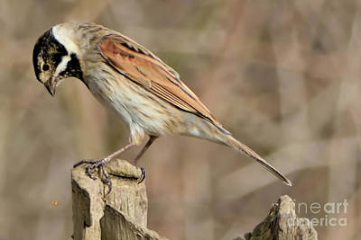 Photograph - Common Reed Bunting by Baggieoldboy