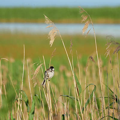 Photograph - Common Reed Bunting by Jouko Lehto