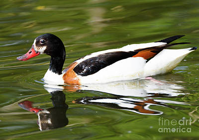 Photograph - Common Shelduck by Colin Rayner
