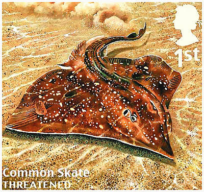 Devil Ray Painting - Common Skate by Lanjee Chee