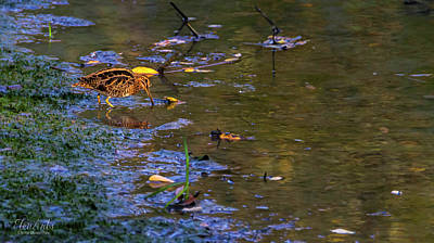 Photograph - Common Snipe, Gallinago Gallinago, Geneva, Switzerland by Elenarts - Elena Duvernay photo