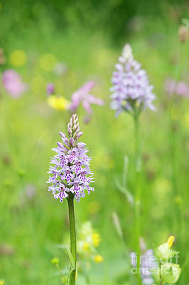 Nature Reserve Photograph - Common Spotted Orchid by Tim Gainey