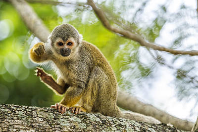 Photograph - Common Squirrel Monkey by Belinda Greb