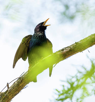 Enviroment Photograph - Common Starling On A Tree Branch by Catalin Petolea