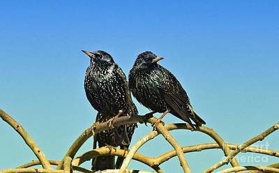 Photograph -  Common Starlings  by Elaine Manley
