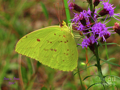 Art Print featuring the photograph Common Sulphur Butterfly by Donna Brown