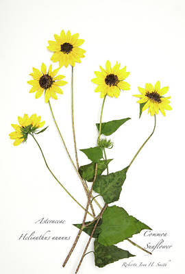 Photograph - Common Sunflower by Roberta Jean Smith