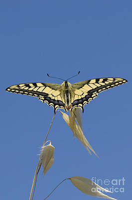 Greek Insects Photograph - Common Swallowtail by Steen Drozd Lund