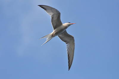 Photograph - Common Tern by Gerald Hiam