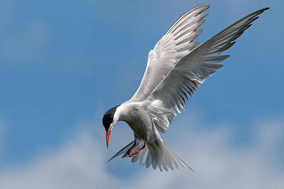 Common Tern  Art Print by Ian Hufton