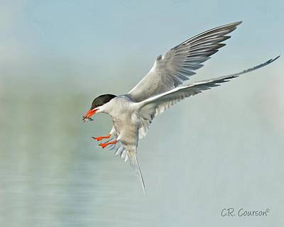 Photograph - Common Tern In Flight by CR Courson