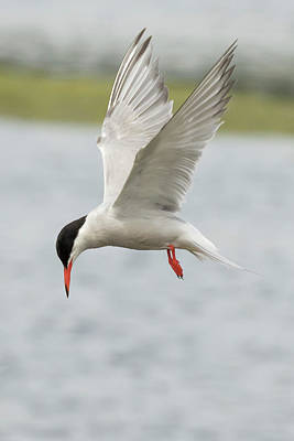 Photograph - Common Tern - Sterna Hirundo by Prashant Meswani