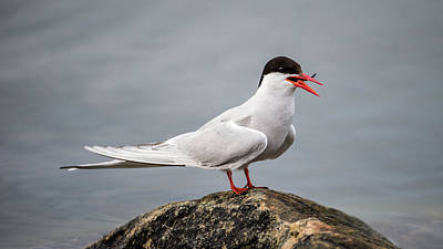 Photograph - Common Tern by Torbjorn Swenelius