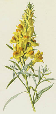 Botanical Drawing - Common Toadflax by Frederick Edward Hulme