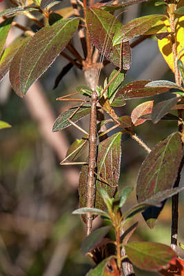 Photograph - Common Walkingstick Or Northern Walkingstick Din0263 by Gerry Gantt